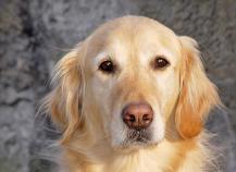 adoptar-perros-adultos